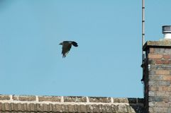 Crow in flight. A crow in flight, taken in England stock images