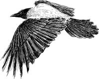 crow in flight. Vector drawing of a flying crow Royalty Free Stock Photos