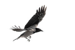 Crow in flight. Wild crow in flight, isolated on white royalty free stock photos