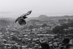 Crow fly over the top of the city . Royalty Free Stock Photo