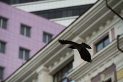 Crow in fly over urban city landscape, bird outstretched wings flying over the city Royalty Free Stock Image