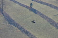 Crow flying. Above meadow on a beautiful autumn morning Stock Photo