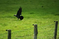 A crow is flying away stock photography