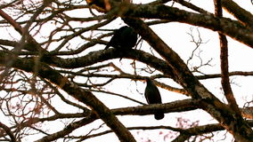 Crow flying from branch to branch Royalty Free Stock Photos
