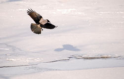 Crow flying on ice background Stock Images