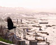 A crow flying Royalty Free Stock Photo