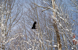 Crow flying between trees Stock Photo
