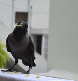 Crow with food in beak. Indian crow sitting in window with food in beak Stock Images