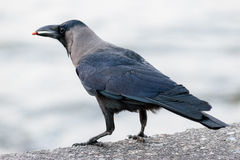 Crow with food. Sitting on concrete promenade this crow has only human leftovers to feed on Stock Images