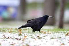 Crow foraging for food in the park Stock Photos
