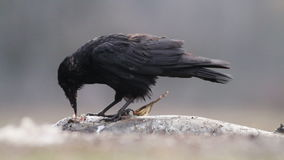 Crow in the forest in Hungary. Crow eating fish in Hungary stock video