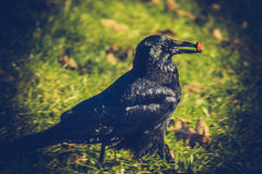 A crow found a special cookie Royalty Free Stock Photography
