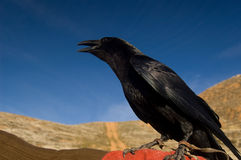 Crow in front a blue sky Royalty Free Stock Images