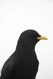 Crow in front of white background close up Stock Images