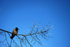 Crow on a frosty branch Stock Image