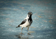 Crow on frozen river Royalty Free Stock Photo