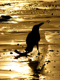 Crow in Gold. A crow silhouette on a golden sands background Royalty Free Stock Photography