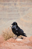 Crow in Grand Canyon. Big black crow and mountains far behind Stock Photography
