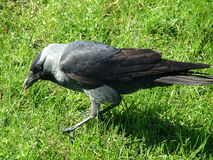 Crow in the grass. Crow walking in the grass Royalty Free Stock Image