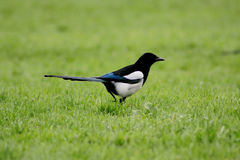 Crow in the grass. Closeup picture of a crow in the grass Stock Images