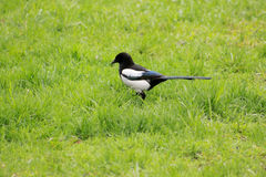 Crow in the grass. Closeup picture of a crow in the grass Royalty Free Stock Image