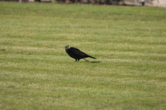 Crow in Grass Field Royalty Free Stock Photos