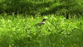 Crow in the grass. 4K. stock video footage