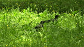 Crow in the grass. 4K. stock footage