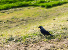 Crow on grass Royalty Free Stock Image