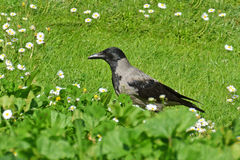 Crow in the grass Royalty Free Stock Photo