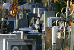Crow on a gravestone Stock Photos