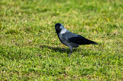 Crow on green grass looking into camera. Crow on bright green grass looking into camera Stock Photos