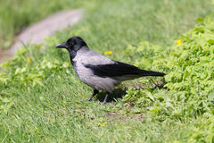 Crow on the green spring grass Stock Photo