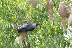 A crow hanging and looking to weaver bird nests Stock Image