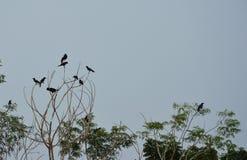 Crow hanging over tree top in park. Crow hanging over tree top in the park Royalty Free Stock Photos