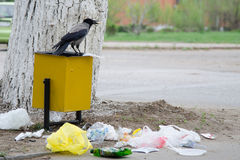 Crow Has Found A Morsel Of Food In Garbage Urn Royalty Free Stock Photography