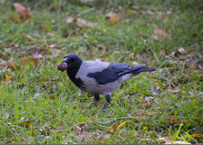 Crow holding an eagle in his beak. Hooded crow on the grass. A bird of the family Corvidae.  Royalty Free Stock Images