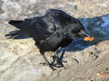 Crow holding food Royalty Free Stock Photo