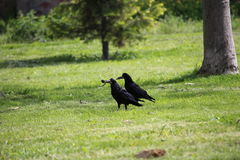 A crow holding a piece of food in its beak royalty free stock images