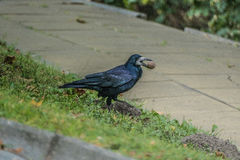 Crow holds the nut. Crow has found a nut and wants to open itn Royalty Free Stock Image