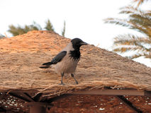 Crow. Hurghada red Sea resort Egypt Stock Images