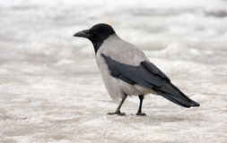 Crow on ice Stock Photos