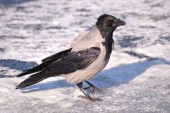 Crow on the ice 4 Stock Image