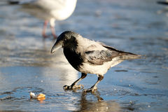 Crow ice winter wildlife Stock Photo