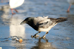 Crow ice winter wildlife Royalty Free Stock Image