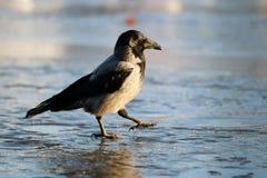 Crow ice winter wildlife Stock Photos