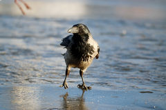 Crow ice winter wildlife Stock Images