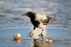 Crow ice winter wildlife Stock Images
