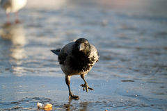 Crow ice winter wildlife Royalty Free Stock Photo