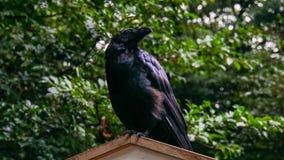 Crow II Royalty Free Stock Photo